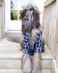 afghan hound sale jolie afghan hounds home facebook