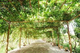 Grape Vine Pergola by Ffootpath Under The Green Vine Grape Pergola Stock Photo 134206998