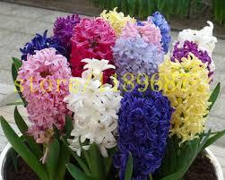 flower plants 20pcs real hyacinthus seeds soil culture hydroponic hyacinth flower