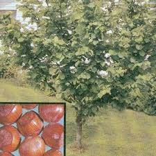 discount fruit trees shade trees berry plants and more to
