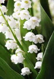 of the valley flower white lotus aromatics