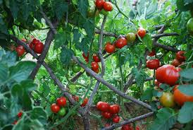 How To Grow Green Beans On A Trellis Growing Tomatoes How To Grow Tomatoes Planting Tomatoes