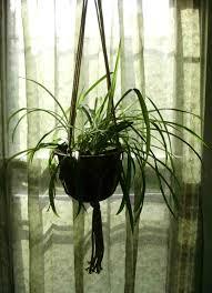 spider plant the midnight garden