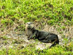 otters again and a sick muscovy backyard world