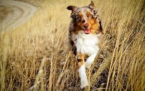 australian shepherd vs english shepherd australian shepherd dog vs shetland sheepdog dog breed atlas
