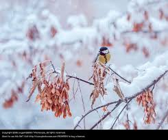 great titmouse on a snow branch a royalty free stock photo from
