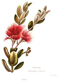 free native plants native flowers of new zealand plate 29 wikisource the free