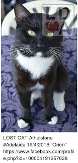 Lost Cat Meme - lost cat athelstone adelaide 1642018 orion