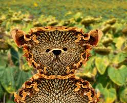 teddy sunflowers teddy picture by kremerb for sunflower seeds photoshop