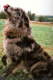 australian shepherd newfoundland pinterest u2022 the world u0027s catalog of ideas