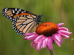 the monarch butterfly danaus plexippus is a milkweed butterfly