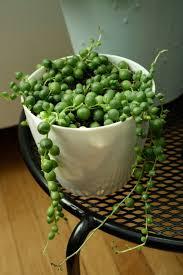 captive creativity string of pearls senecio rowleyanus plant