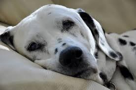 dog breeds dalmatian u2013 puppy