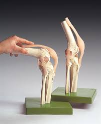 3d Knee Anatomy 6 Anatomical Models For Setting Up Your Physical Therapy Anatomy
