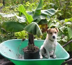 mini banana tree subtropicals catalogue