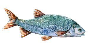 freshwater fish freshwater fish denmark u2013 frits ahlefeldt laurvig logbook
