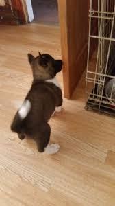 belgian shepherd for sale ireland akita inu sale ireland akita inu puppies buy buy akita inu