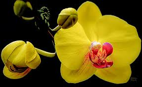 Yellow Orchid Julie Palencia Artwork Collection Orchids
