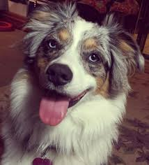 australian shepherd overbite 70 best the siberian husky pack images on pinterest siberian
