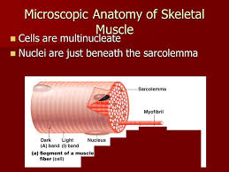 the muscular system alireza ashraf m d professor of physical
