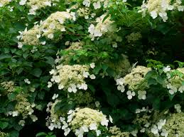 cutting back hydrangea vines when to prune a climbing hydrangea