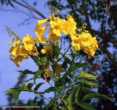 77 best native texas plants u0026 flowers in my yard images on