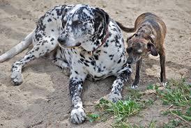 freckled dalmatian natural history
