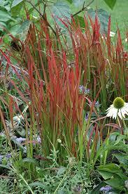 baron japanese blood grass imperata cylindrica baron