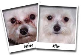 bichon frise 7 weeks old success stories angels u0027 eyes pet wipes dog tear stain remover