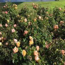Patio Tree Roses by Flowering Trees Trees U0026 Bushes The Home Depot