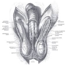 Male Anatomy Perineum Perineal Raphe Wikipedia