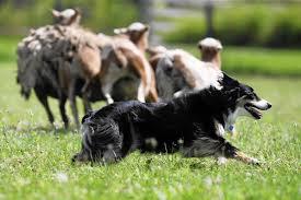 australian shepherd jobs dogs can practice natural herding talents on wisconsin farm
