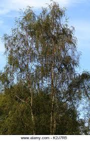 betula pendula tristis silver birch tree stock photo royalty
