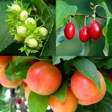 edible fruits edible hedging mix 18 plants pomona fruits buy fruit trees