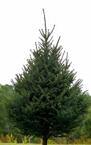 real christmas trees wolcyn tree farms minnesota
