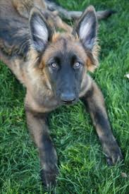 belgian shepherd for sale philippines best 25 long haired german shepherd ideas on pinterest jerman