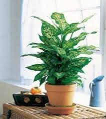 indoor plants singapore send plants in singapore flower shop and florist in singapore