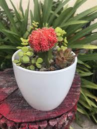 large white ceramic planter red grafted cactus elephant bush