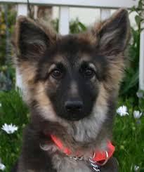 adopt a belgian sheepdog westside german shepherd rescue of los angeles