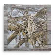 barred owl in mossy oak tree canvas print ditterich