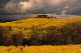 tuscan yellow a vineyard in tuscany colors of a tuscan spring