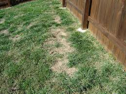How To Get Rid Of Moles In The Backyard by Lawn Problems Zoysia Grass