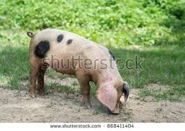 landrace pig stock images royalty free images u0026 vectors