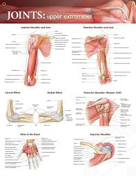Anatomy Of Shoulder Muscles And Tendons 67 Best Muscle Images On Pinterest Massage Therapy Physical
