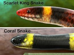 difference king snake coral snake