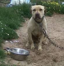 american pitbull terrier z hter deutschland gamedogs pedigree