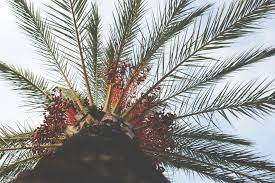 palm sunday palms for sale this palm sunday where will the millions of palms come from