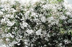Fragrant Jasmine Plant - jasmine officinale hardy fragrant jasmine garden pinterest