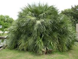 mediterranean fan palm tree mediterranean fan palm trees pictures desert landscape pinterest