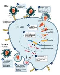 hiv replication cycle nih national institute of allergy and